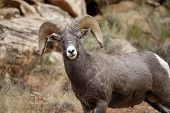 Big Horn Ram in Capitol Gorge Capitol Reef National Park poster