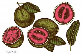 Vector Set Of Hand Drawn Colored Guava Stock Illustration