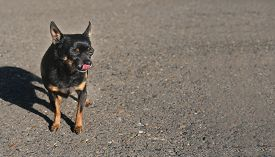 Cute Toy Terrier Dog Licks Her Lips With Eyes Closed. Happy Full Dog Under The Sunshine. Dog Food Or