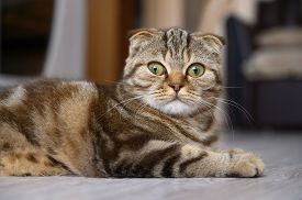 Close Up Portrait Of A Young Scottish Fold Cat. Cat Lies On The Floor In The Living Room, Looking At