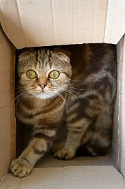 Close Up Portrait Of A Young Scottish Fold Cat. Funny Cat In A Cardboard Box. Vertical Orientation