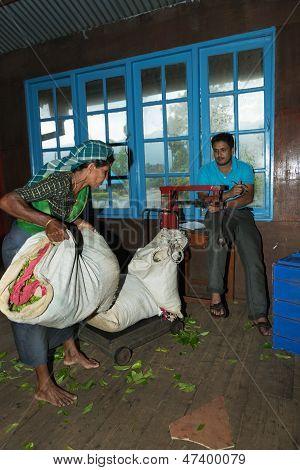 Tea crop weighing on tea factory