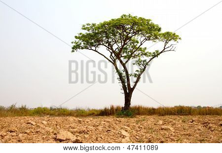 Brown Field And Lonely Tree