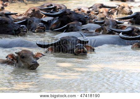 Buffalos On The River