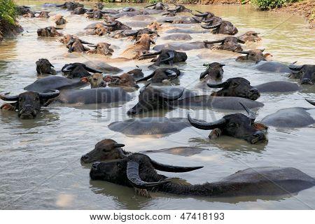 Buffalos Submerged In  Water