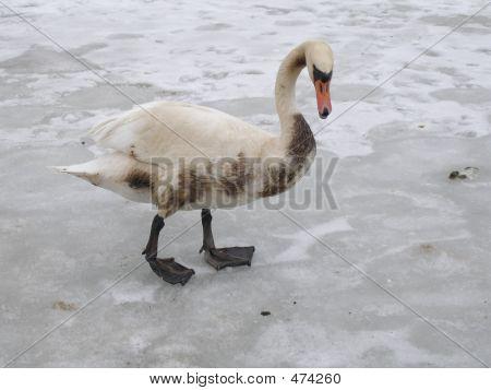 Unhealthy Swan