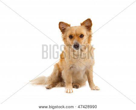 Spitz Dog On White Background