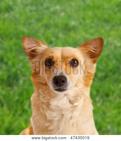 Spitz Dog On Green Meadow