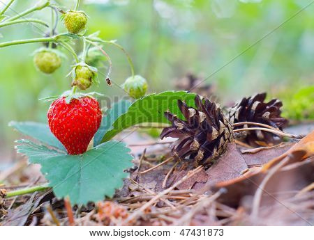 Wild red strawberry growing in forest. Nature composition poster