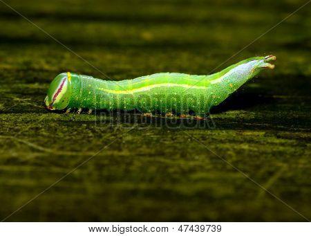 Saddled Prominent Caterpillar