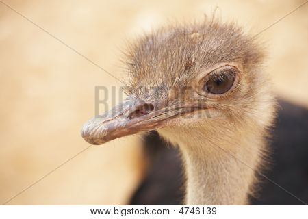 Scruffy Male Ostrich