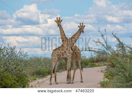 Two giraffes crossing necks in the road poster