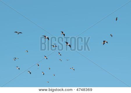 Flock Of Sea Birds