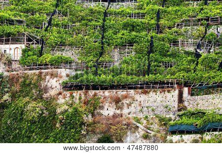 Lemon orchard on the Amalfi Coast, Italy, Europe