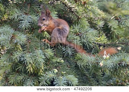 Squirrel On Firtree