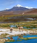 The photo was taken on the road through the Andes near Paso Jama Chile-Argentina-Bolivia. Vicugna is wild South American camelid which live in the high alpine areas of the Andes. poster