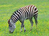 Grants Zebra grazing in lush grassland meadow poster