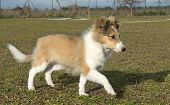 portrait of a purebred puppy shetland dog running poster