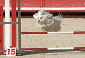beautiful purebred maltese dog jumping in a competition of agility poster