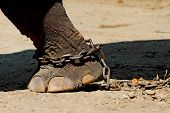 Close-up of an elephant foot chained,elephant foot poster