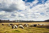 Sheep herd feasting in a water meadow in early spring with beautiful clouds and blue sky above poster