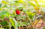 Wild strawberry berry in the forest. Nature composition poster