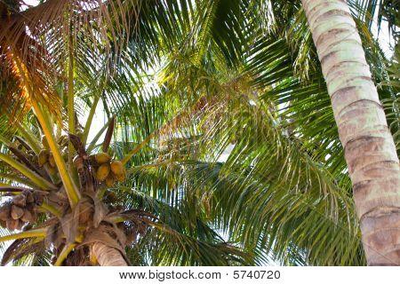 Bahamian Palm Trees