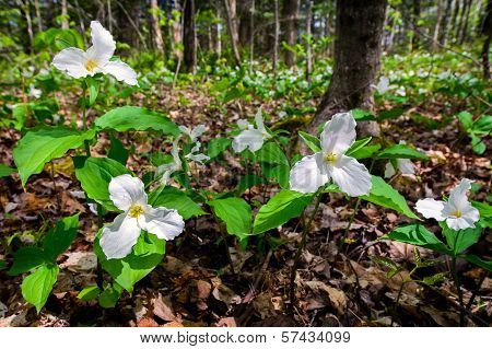 White Trilliums On The Forest Floor