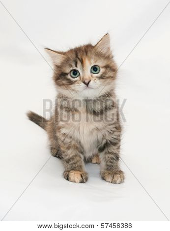 Tricolor Kitten Sitting, Flattened His Ears, On White Background