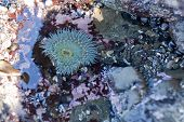 closeup of beautiful green anemone in the water in tide pool poster
