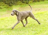 A young beautiful silver blue gray Weimaraner dog running on the lawn with no docked tail. The Grey Ghost is a hunting gun dog originaly bred for royalty and nobility. poster