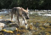 beautiful young wolf walking in a river poster