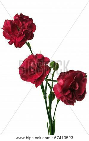 Bouquet Of Three Red Carnation Flowers