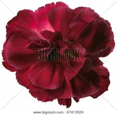 Red Carnation Flower