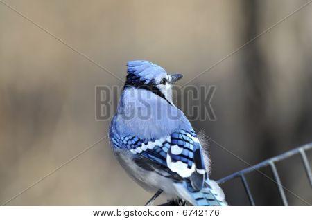 Blue Jay: Cyanocitta cristata