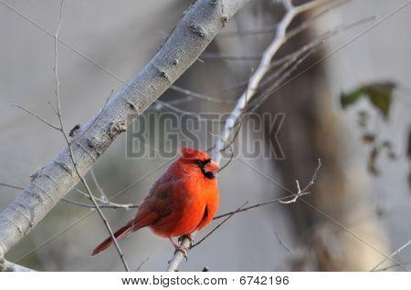Northern Cardinal: Cardinalis cardinalis