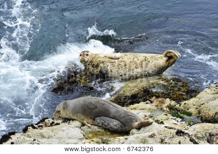 Two Harbor Seals