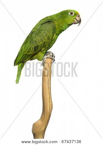 Panama Yellow-headed Amazon (5 months old) perched on a branch, isolated on white poster
