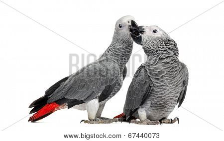Two African Grey Parrots (3 months old) pecking,  isolated on white
