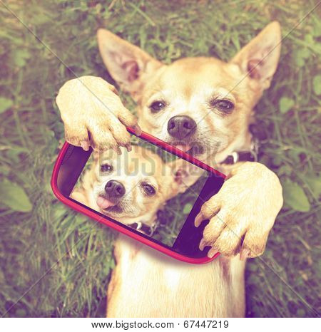a cute chihuahua in the grass taking a selfie on a cell phone done with a vintage retro instagram filter