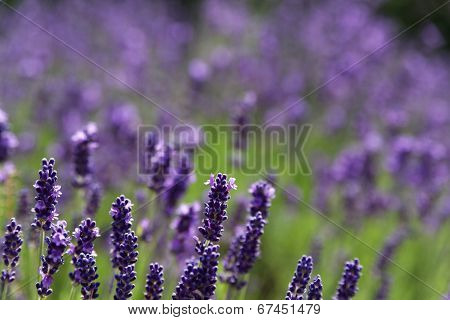 Lavender Meadow In Blossom.