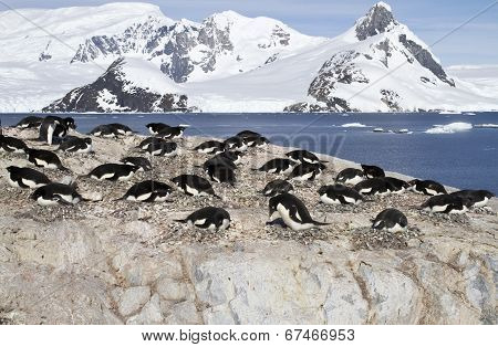 Adelie Penguin Colony On The Rocks Of One Of The Antarctic Islands