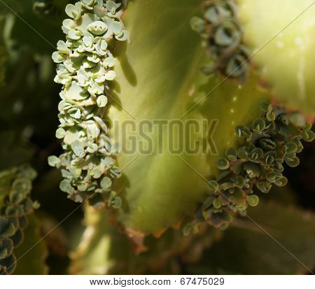 Kalanchoe leaf with baby plants