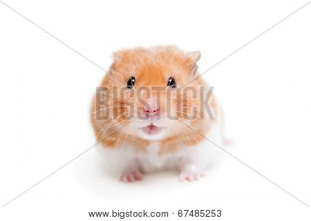 Golden hamster isolated on white