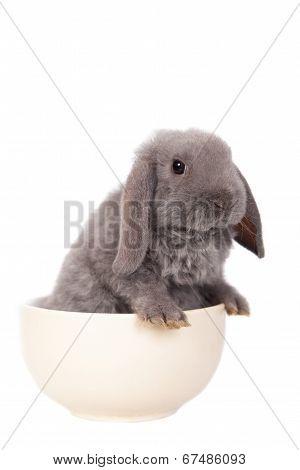 Grey lop-eared rabbit rex breed