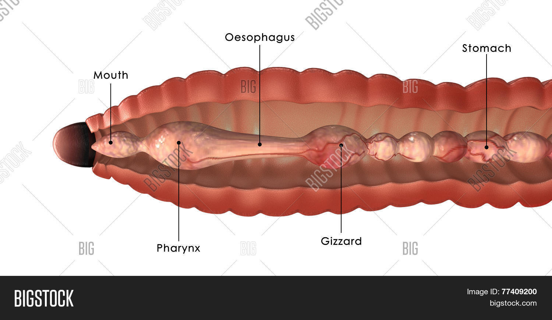 Earthworm Anatomy Image & Photo (Free Trial)   Bigstock