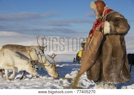 Unidentified Saami man feeds reindeers in harsh winter conditions