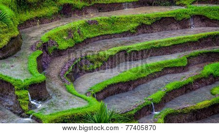 Rice Terrace Under The Rain