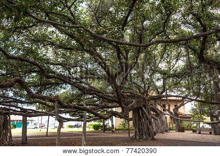 Banyan Tree in Lahaina, Maui