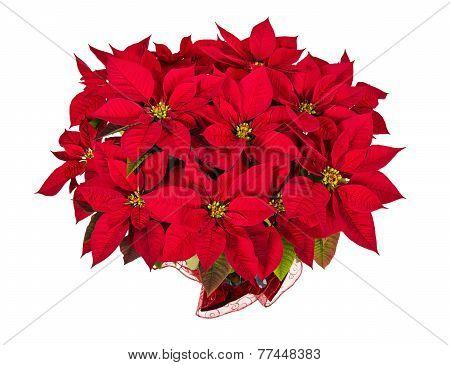 Red Poinsettia or Christmas Star Flower